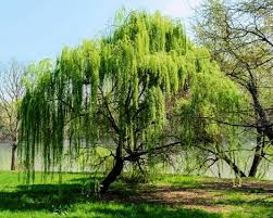 willow-bark