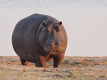 220px-Hippo_at_dawn